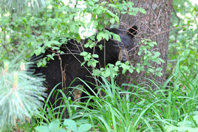 front yard black bear