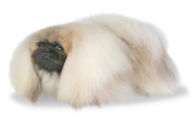 Pekingese Dog Breeders Profiles and Pictures | Dog Breeders Profiles ...