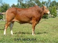 Karakteristik Sapi Madura