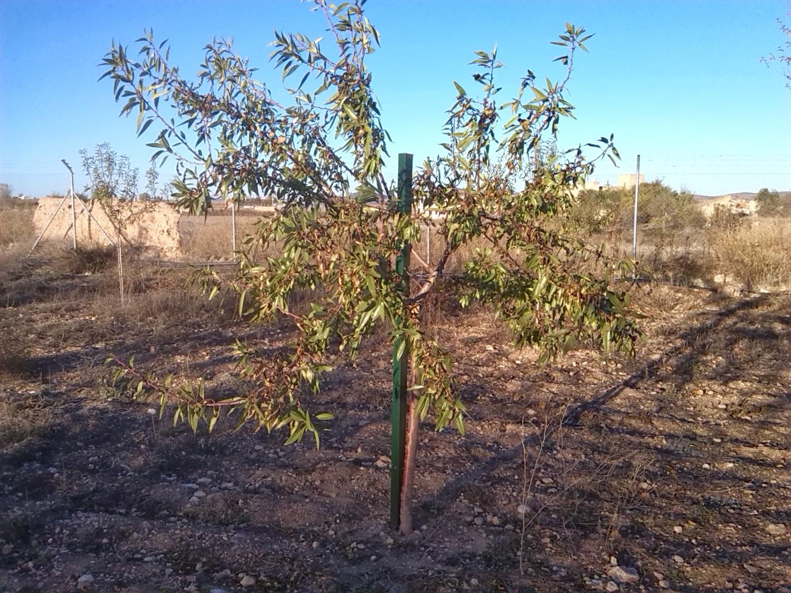 Amyndala frutos secos s l poda de formaci n en la - Poda del cerezo joven ...