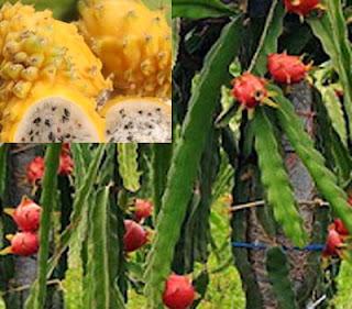 buah naga mencegah kanker menurunkan tekanan darah tinggi netralisir racun dalam darah Buah Naga Dapat Mencegah Kanker Dan Menetralkan Racun Dalam Darah