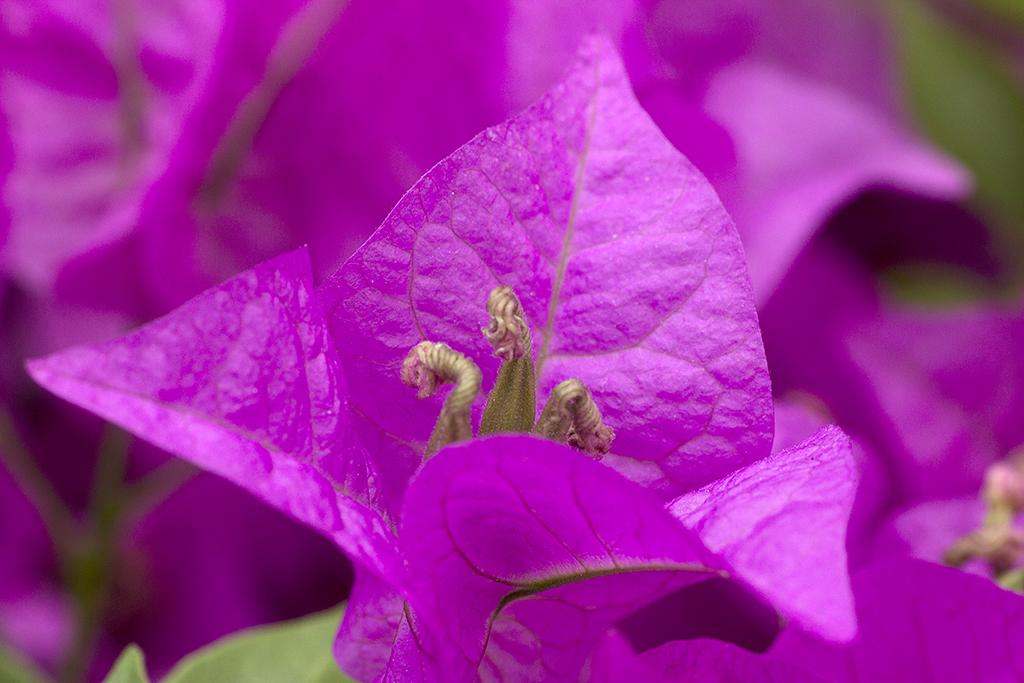 Fotografía macro flores buganvilla