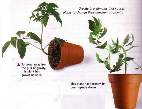 Mrs. Remisu0026#39; Science Blog - 5th Grade: PLANTS: TROPISMS ...