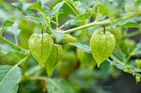 Herbal Untuk Atasi Hipertiroid dengan Ciplukan