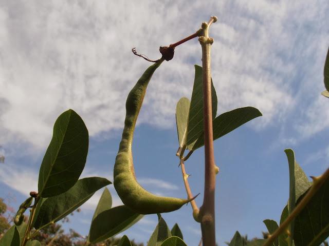 Fruto de Árbol Coral: Erythrina crista-galli