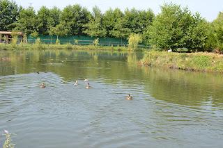 Maşukiye Cansu Alabalık Tesisleri'ndeki gölette yüzen ördekler