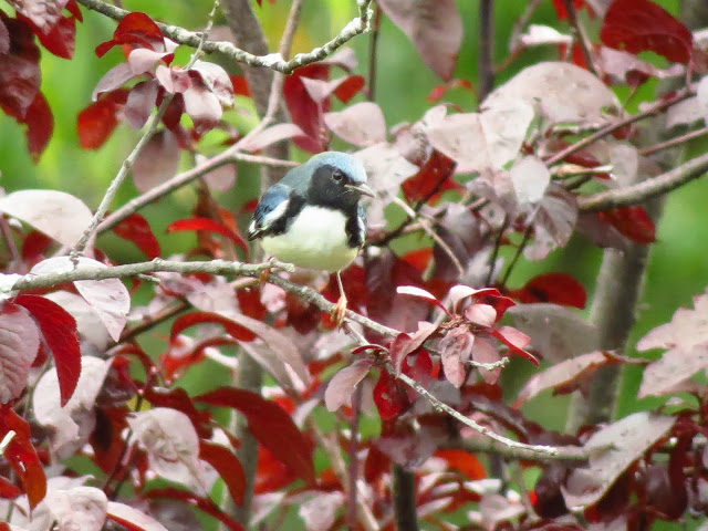 black throated blue warbler male