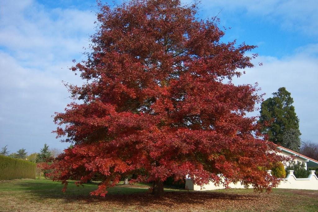 Northern Red Oak ~ Plantwerkz northern red oak quercus borealis