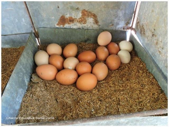 Huevos puestos por varias gallinas - Chacra Educativa Santa Lucía