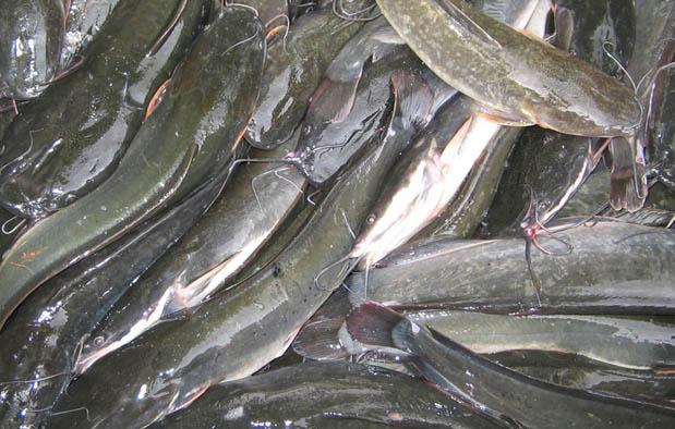 Ikan yang Baik untuk Ibu Hamil