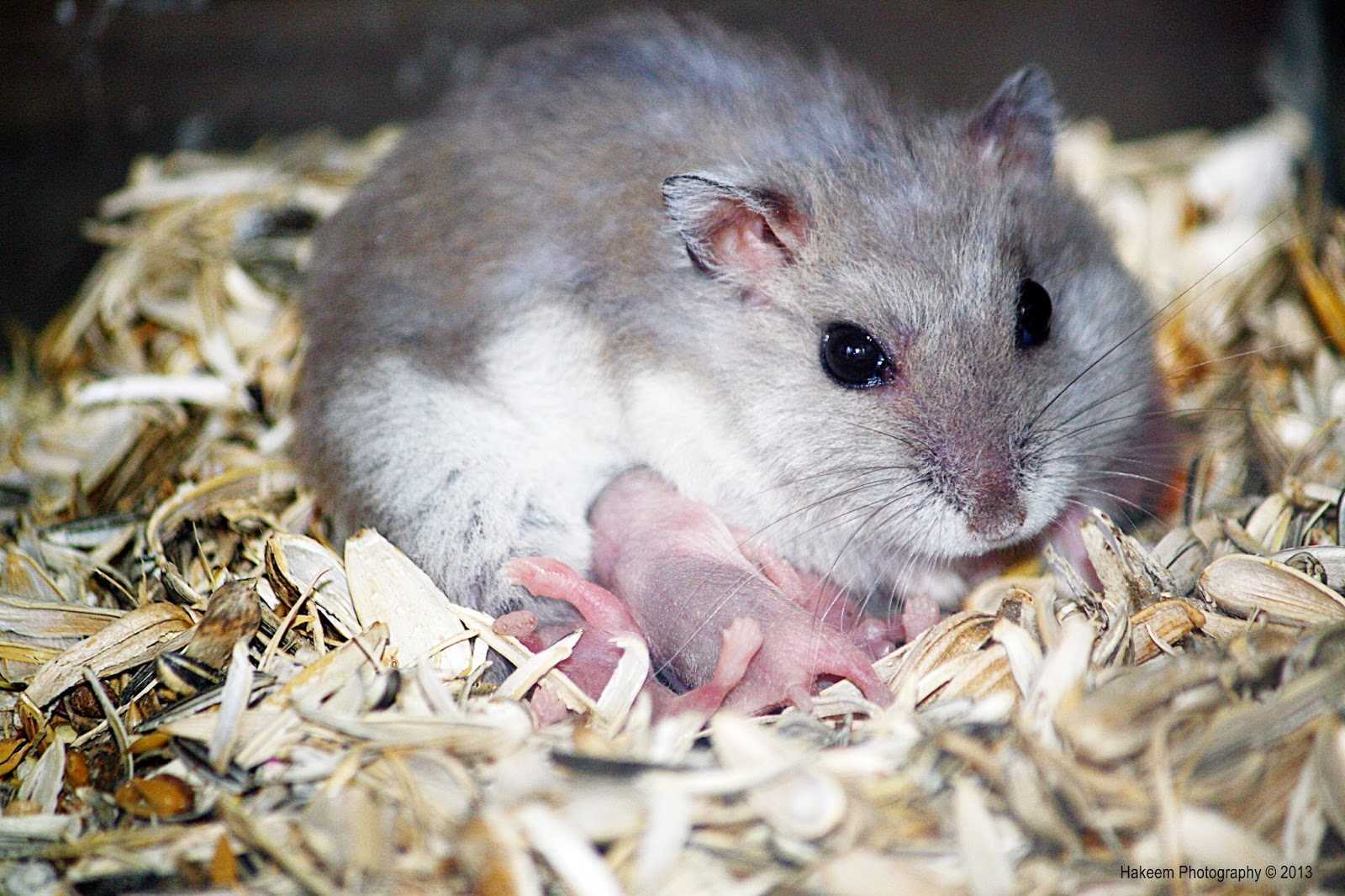 Mommy Hamster with her babies