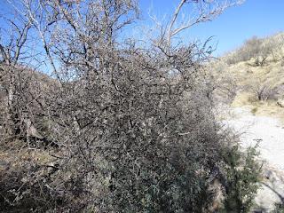 Forestiera shrevei, Desert Olive