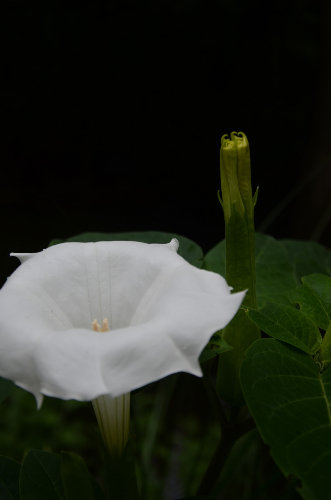 Zone five and a half moonlight garden flowers that go bloom in moonflower blooms resemble a closed umbrella by day yet at dusk these vampires spread their wingspans into magnificent blooms radiating in the moonlight izmirmasajfo