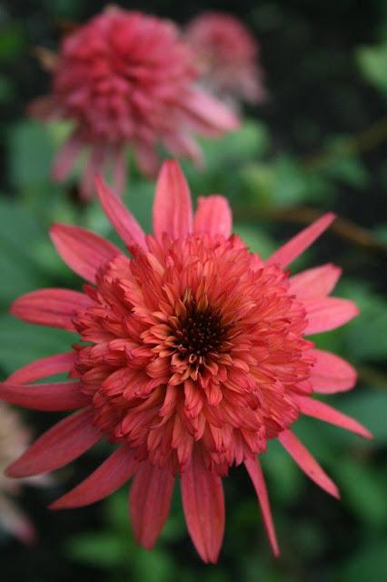 Echinacea 'Raspberry Truffle'