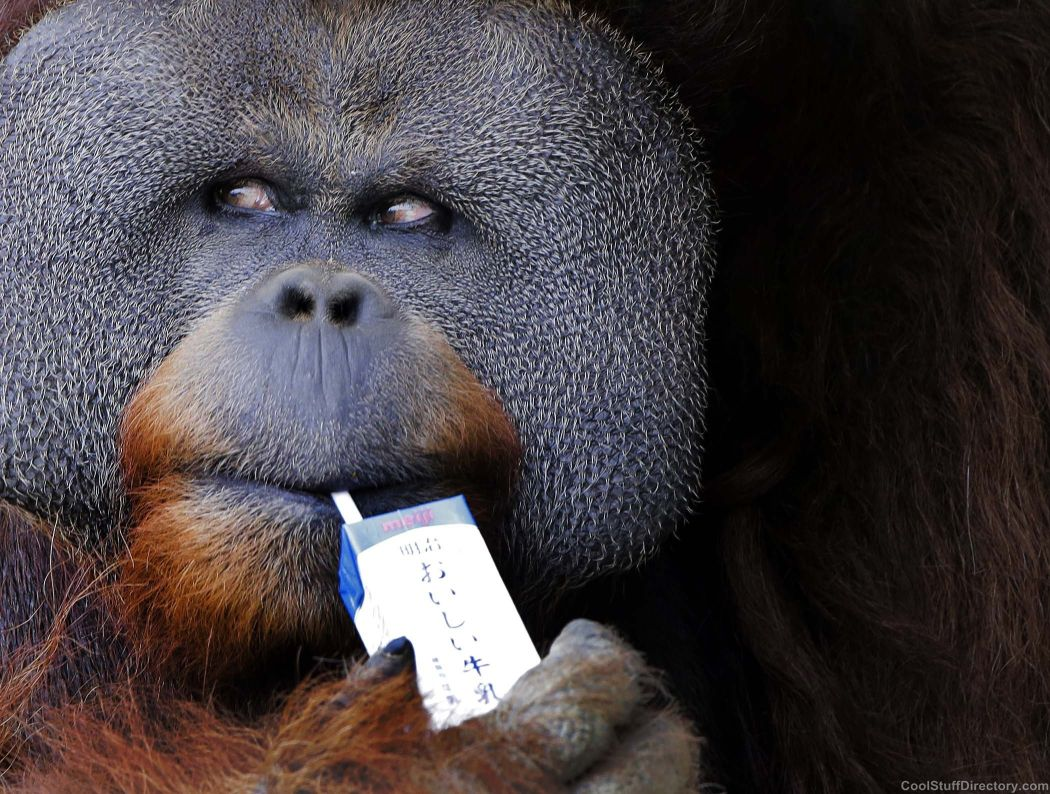 Iban, a 25-year-old Sumatran orangutan drinking milk through a straw, the zoo in Ichikawa, Japan