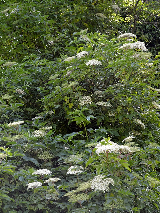 ... DIY PROJECTS, AND LIFE ON THE ISLE OF MAN: Elderflower Cordial Recipe