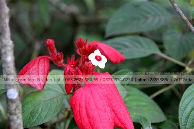 Bunga Nusa Indah Merah / Mussaenda Erythrophylla - foto oleh : Klikmg Fotografer Indonesia