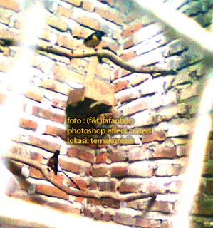 Cara Ternak Murai Batu Medan