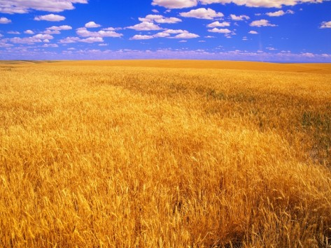 darrell-gulin-golden-wheat-field-under-b