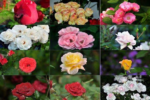 Rosas de colores  para el 10 de mayo IX (12 fotos)