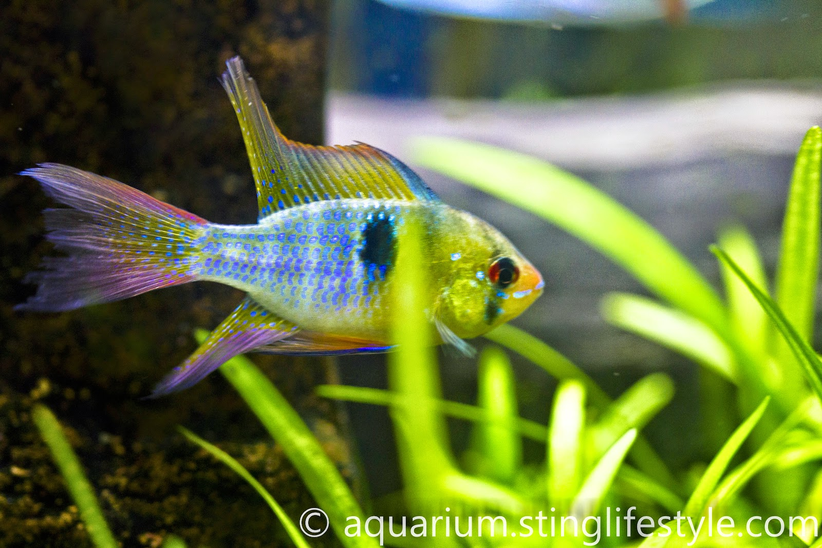 German Blue Ram Aquarium Info