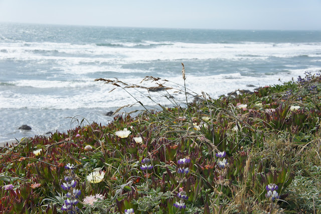 Wildflowers and the surf at Bodega Bay