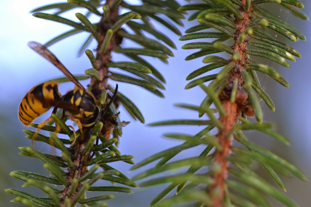 Spruce Bud Scale with yellowjacket feeding on honeydew