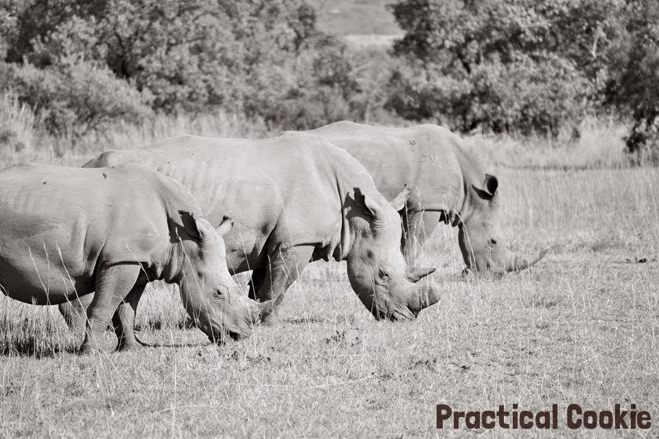 Three Rhinos Grazing in Black and White