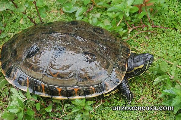 Tortuga escurridiza de Nicaragua