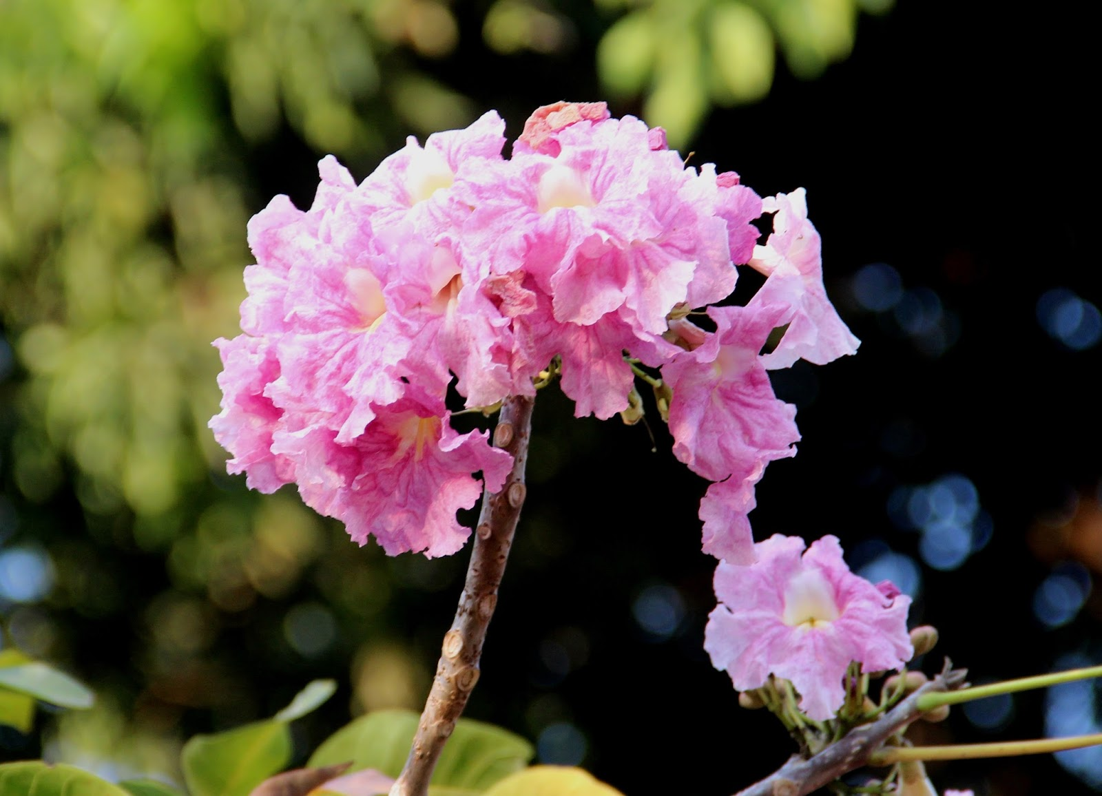 Flores do Ipê rosa em Goiânia-Goiás