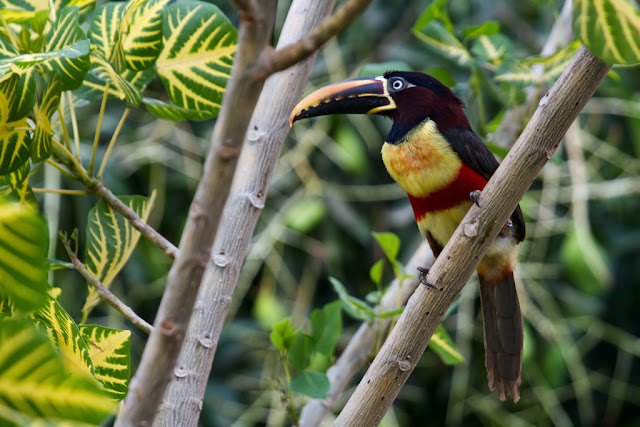 A photograph of a Chestnut-eared Aracari taken in the Pantanal in Brazil