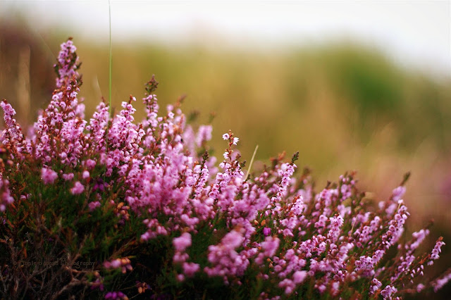 heather in the grass