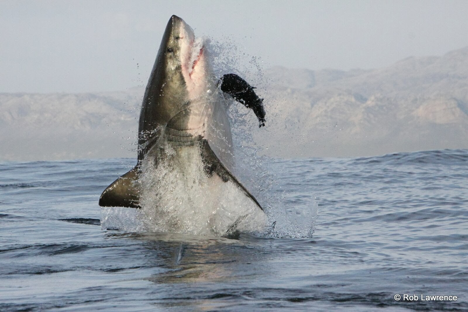 Great White Sharks leaping from the waters of False Bay