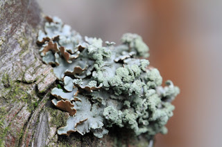 Lichen in a Pear Tree