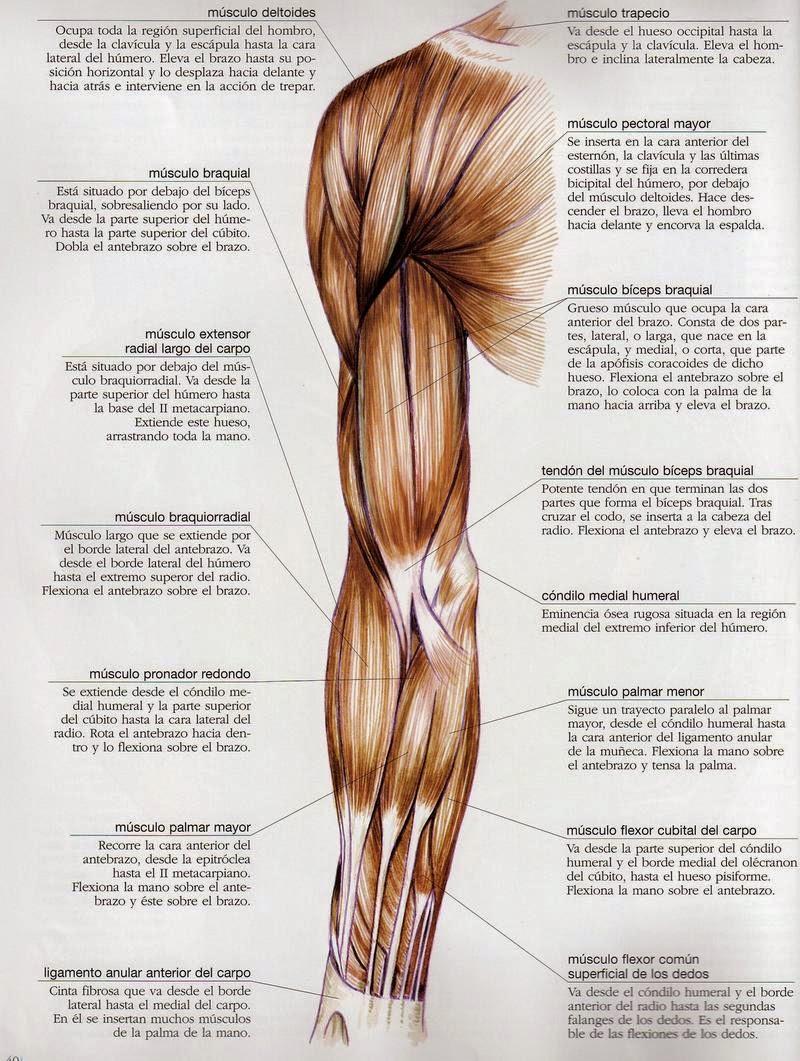 Excepcional Todos Los Músculos Del Brazo Adorno - Anatomía de Las ...