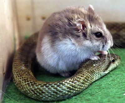 ular-dan-hamster-003-destriyana.jpg (476×394)