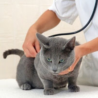 Feline Infectious Peritonitis Fip Omah Kucing