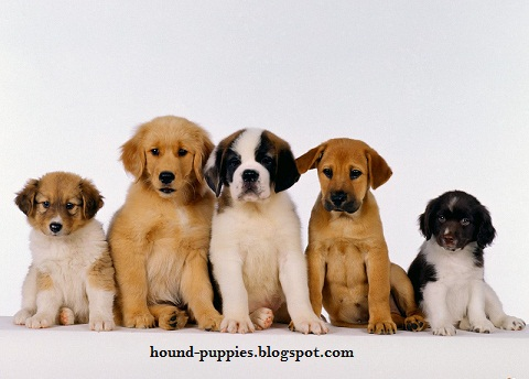 Hound Puppies Pictures