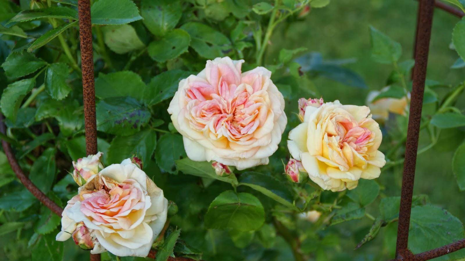 afstand mellem roser