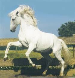 Cavalo Lusitano Opus 72