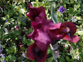 """German Red"" Iris"