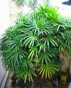 Palem Bambu dapat membersihkan udara dalam ruangan