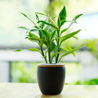 Planta Dracaena Medicinal