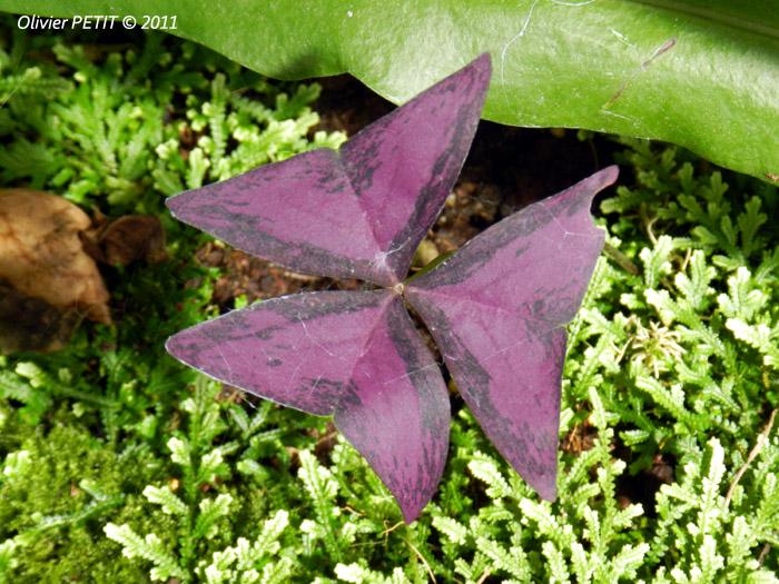 VILLERS-LES-NANCY (54) - Les serres du jardin botanique du Montet-Oxalide ou trèfle pourpre