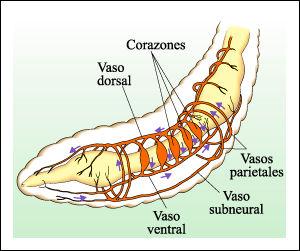 BIOMIRAS Sistema circulatorio de la lombriz de tierra