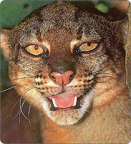 Kucing Berwarna Merah ini Hanya Ada di Kalimantan