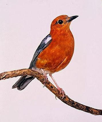 Foto Burung Anis Merah Update Harga Terbaru Gacor