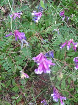 Vicia villosus (Veccia villosa)