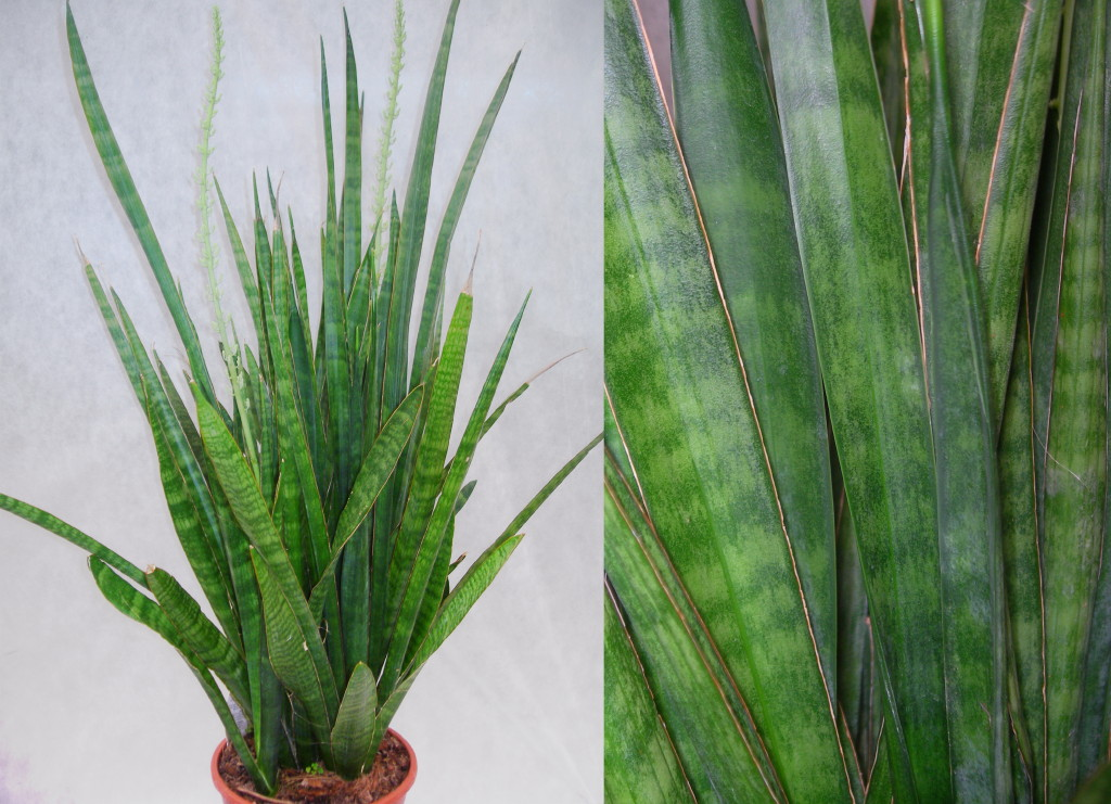Viveros vangarden un mundo de sansevierias for Plantas de interior hojas grandes