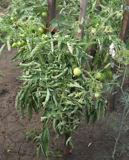 При такой сильной скрутке листьев куст вряд ли даст приемлемый урожай